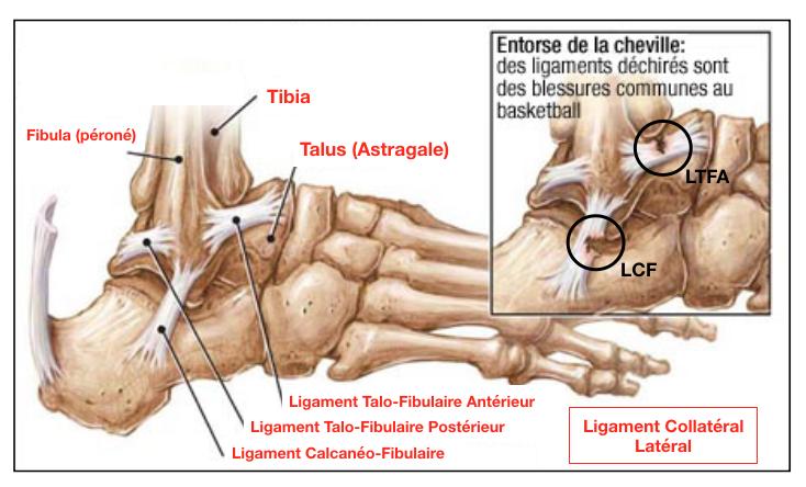 Anatomie du ligament collatéral latéral